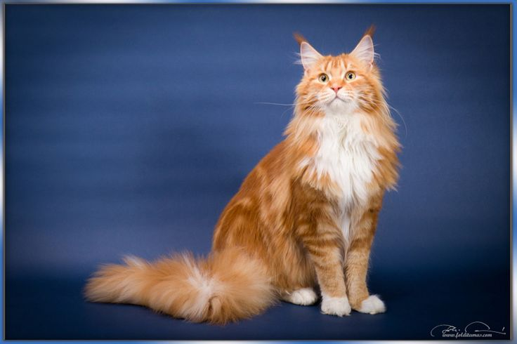 Maine Coon, red tabby blotched & white (d 09 22). Top Coon Vesuvia
