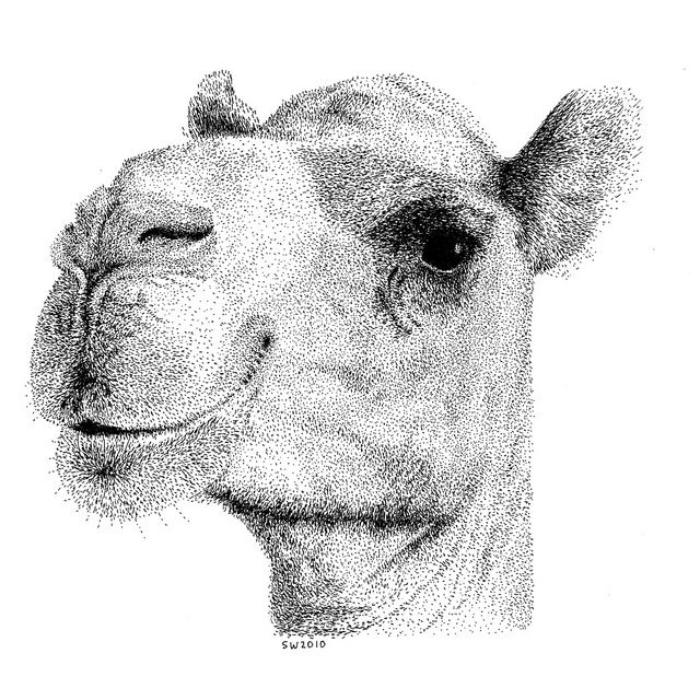 Smiling Camel Pen and Ink Drawing