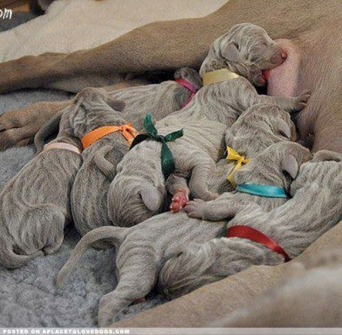 Weimaraner Babies - A Place to Love Dogs