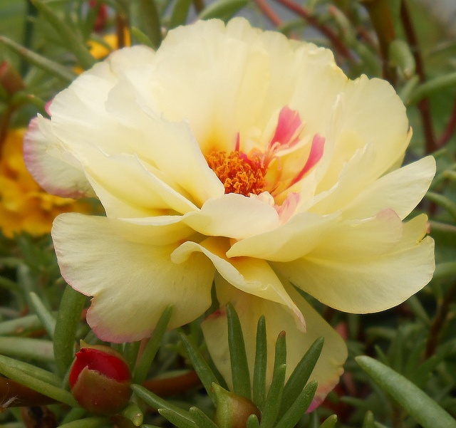 100 Best Images About Portulaca On Pinterest