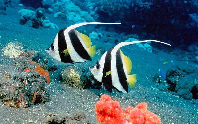 Twee zwart witte tropische vissen | Achtergrond Wallpapers