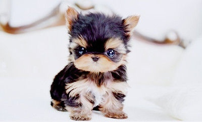 How can you NOT fall in love with this little puppy?: Little Puppies, Teacups Yorkie, So Cute, Pet, Teacups Puppies, Cutest Puppies, Yorkshire Terriers, Tiny Puppies, Adorable Animal