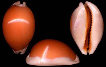 De gouden Kaurie, Latijnse soortnaam Cypraea (Lyncina) aurantium, Gmelin 1791,is een zeeslak die zo genoemd wordt vanwege zijn oranje briljante schelp. Het is éénis grootste van de 250 in de were…