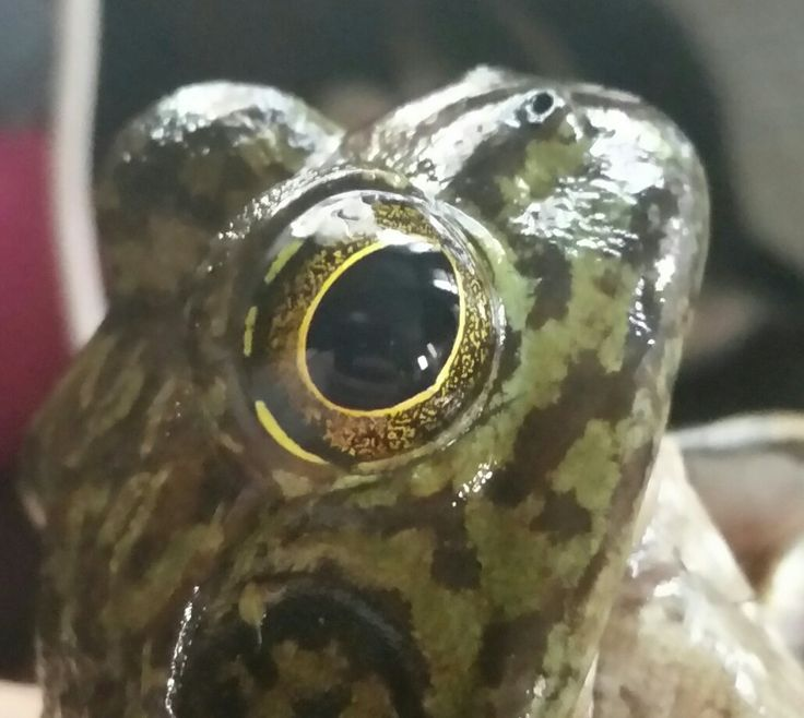 Frogs have beautiful eyes