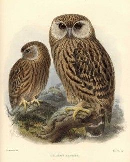 Extinct bird species: Laughing Owl. The Laughing Owl was popularly known for its crazy maniacal calls that echoed through the forests particularly on dark rainy nights.