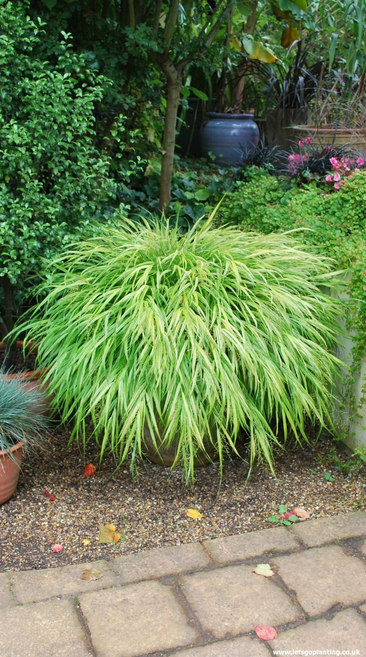 160 best ornamental grasses images on pinterest for Low growing ornamental grasses