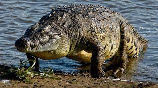 Timsah doğanın en üstün avcısımı? Vahşi hayvanlar aleminin en keskin dişli hayvanı timsah en üstü...