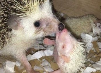 Pygmy Hedgehogs For Sale – Pygmy Hedgehog For Sale