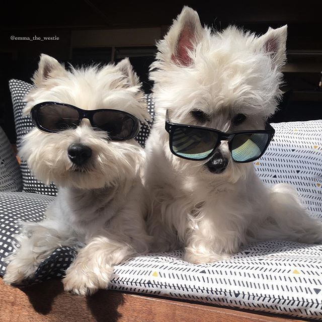 Me And My Bestie Realizing It S Almost Weekend Minipet Online Pet Boutique Is A Melbourne Based For Small Dogs Cats Westie Dogs Westie Puppies Westies