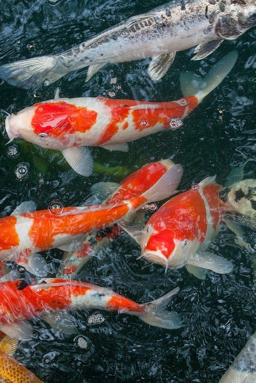378 best images about bassins carpes koi shubunkin on for Carpes kois