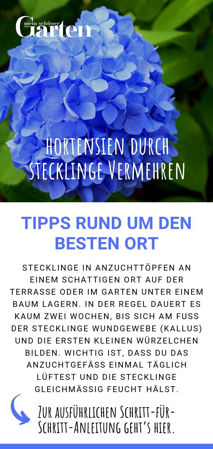 Hortensien durch Stecklinge vermehren: Tipps rund um den besten Ort