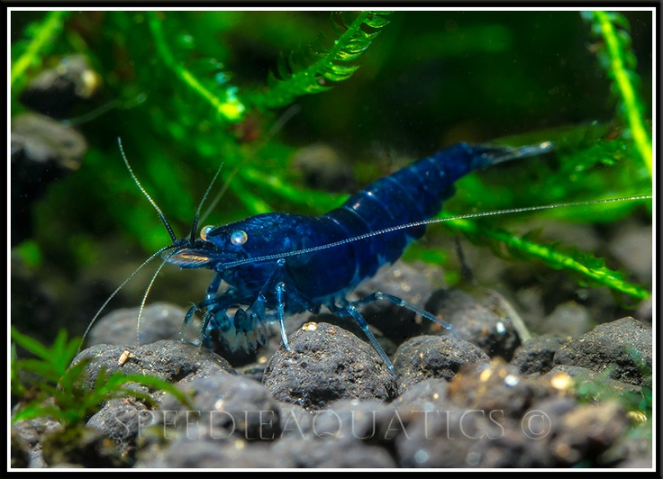 Royal blue, Blue tigers and Shrimp on Pinterest