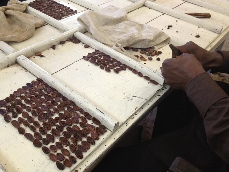 Counting the cocoa beans