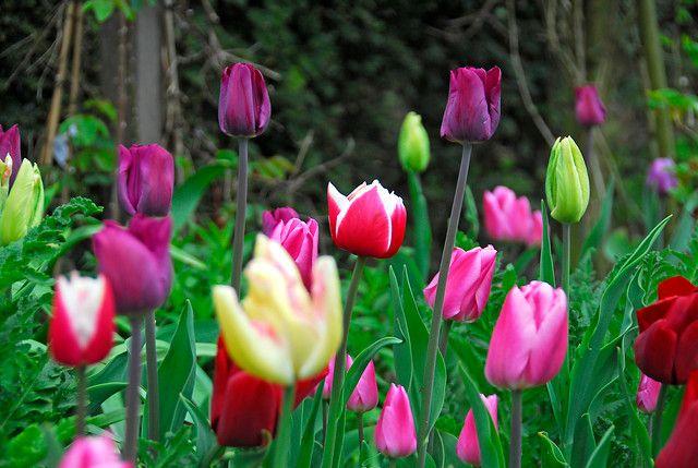 Tulip meadow, photo courtesy of i-bulb