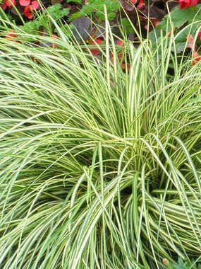 Carex Evergold - Brightly variegated foliage in yellow and green of Carex Evergold features a tight fountain-like habit, even in the shade. Shade grass ornamental grasses