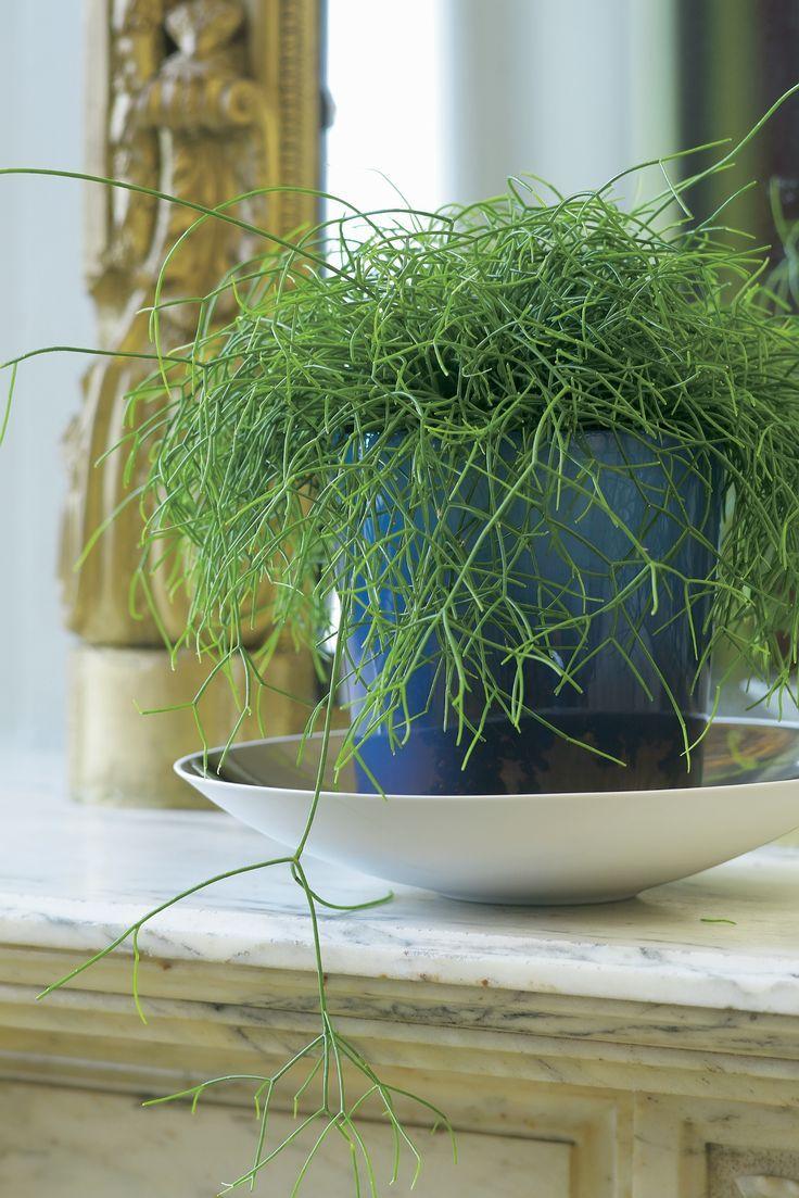 286 best hanging succulents rhipsalis images on for Plante a suspendre interieur