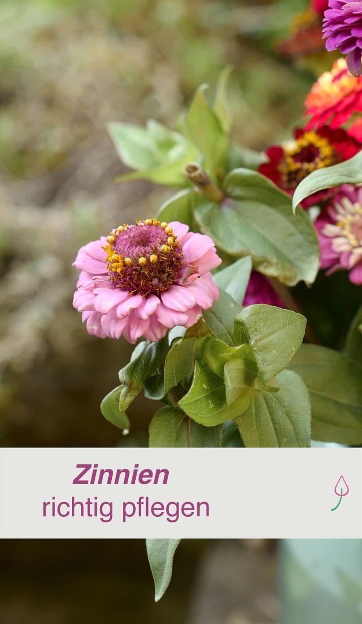 Zinnien richtig pflegen und den ganzen Sommer Blüten auf Garten oder Balkon genießen