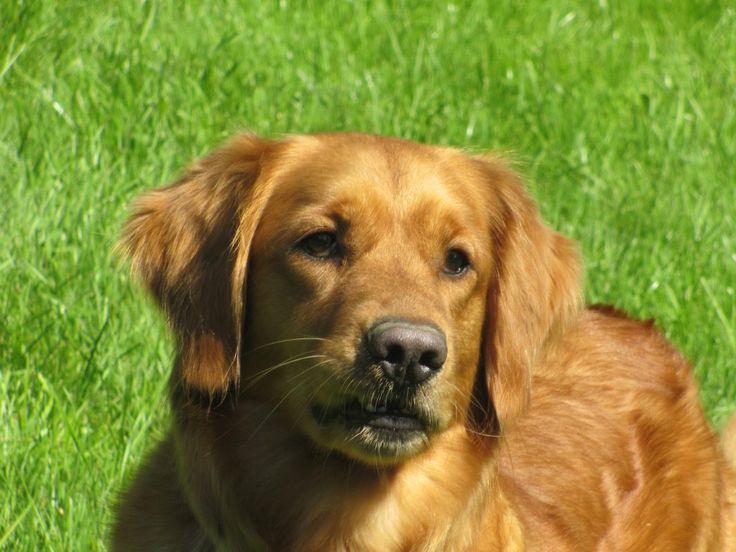 AKC Golden Retriever | Dog Breeds WallpapersDog Breeds Wallpapers