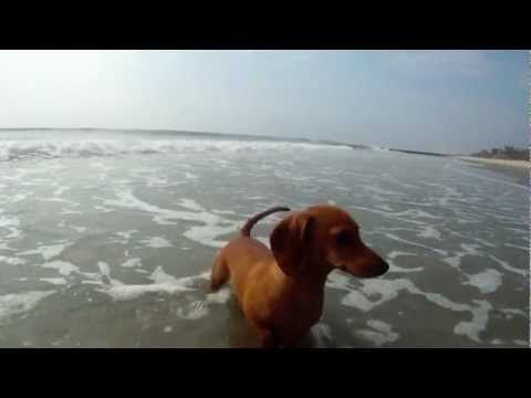 Madeline the dachshund and a Pawleys ghost crab play on the beach.