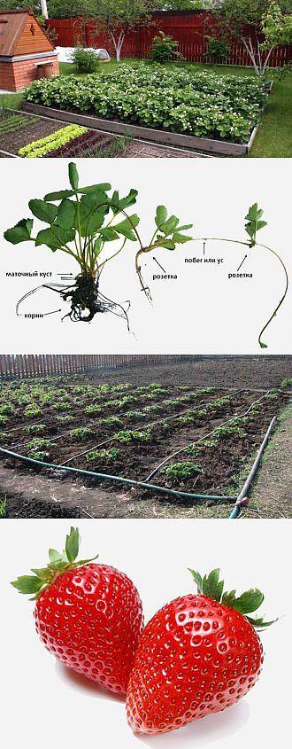 Выращивание клубники в открытом грунте. Необычные агротехнологии выр   Выращивание земляники   Постила