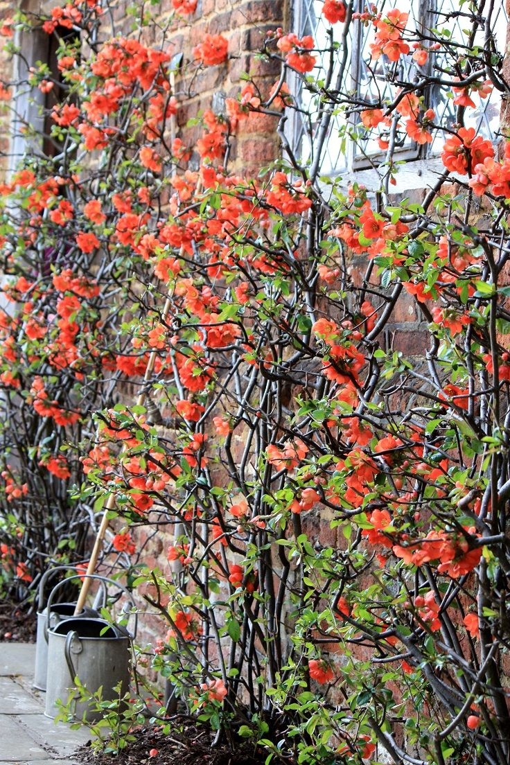Top 10 beautiful climbing plants for fences and walls for Climbing flowering plants for fences