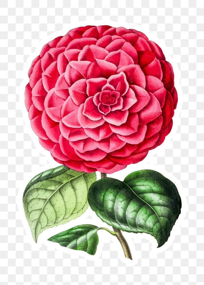 Hand Drawn Pink Camellia Flower Sticker With A White Border Design Element Free Image By Rawpixel Com In 2020 Camellia Flower Flowers Flower Designs