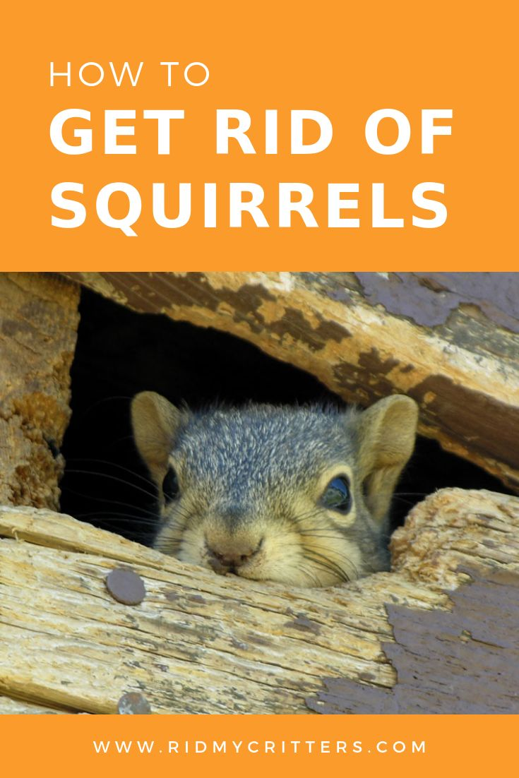 How to Get Rid of Squirrels (from Your Attic, Garden, or