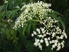 Azadirachta indica, neemolie