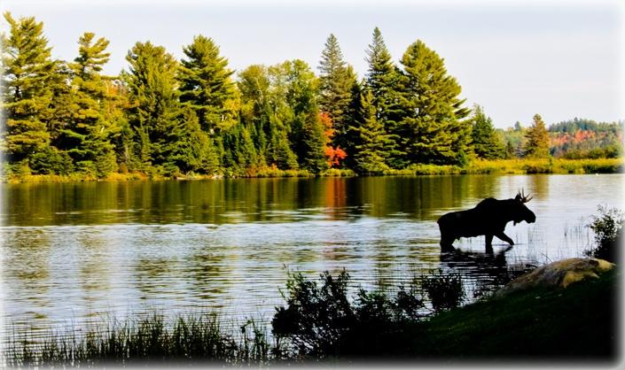 Majestic Moose in Marten River, Ontario