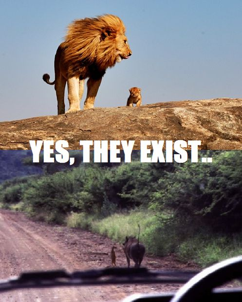 real life lion king!!! now let's see that lion cub make friends with the meaty warthog and decide to eat bugs the rest of his life ...