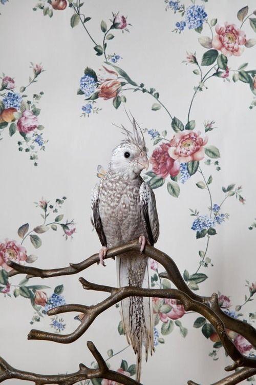 Whiteface pearl cockatiel, parrot portrait by Claire Rosen//