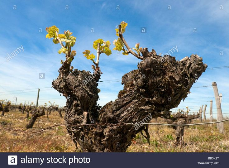 New leaf growth on old grape vine, sud-Touraine, France. Stock Photo
