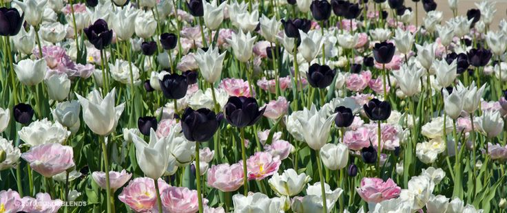Tulips: glistening white lily-like blossoms and dark maroon goblets float above a tapestry of pink and white peony-shaped doubles. By Colorblends.