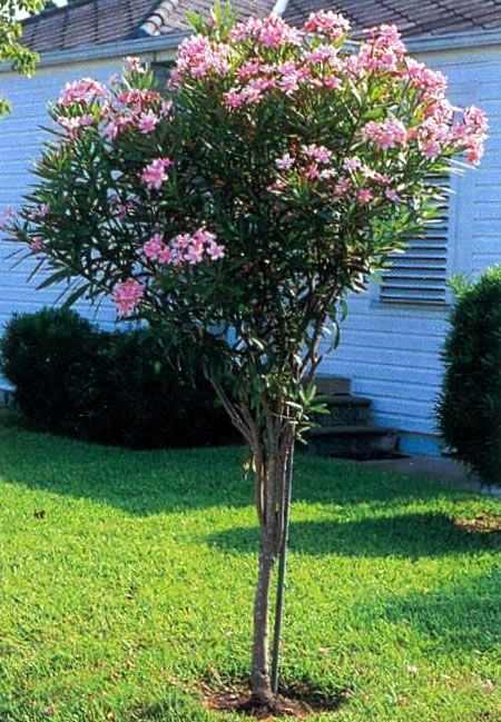 Oleander Tree Tree Garden Design Urban Garden Design