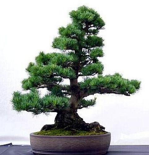 * A hardy conifer native to California and Colorado, this slow-growing pine has a bush-like appearance and does well under very dry conditions. Some Bristlecones that are over 4,000 years old can be f