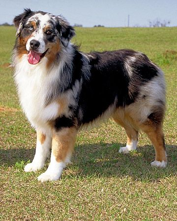"""I can attest to this - Australian Shepherd  An energetic breed with strong herding and guarding instincts, the Aussie requires daily vigorous exercise. Although sometimes reserved with strangers, they are """"people"""" dogs that want to always be near their families."""