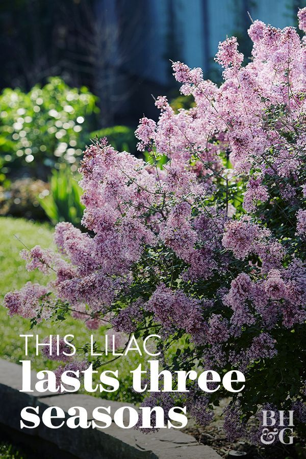 Meet The Bloomerang A Lilac That Blossoms Twice Each Season In 2020 Lilac Bushes Lilac Gardening Bloomerang Lilac