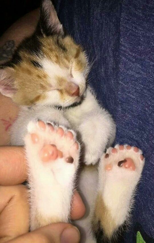 Polidactilia felina