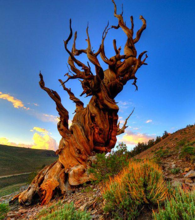Baptisé du nom de Mathusalem, le nom de ce pin Bristlecone californien fait référence à un personnage mythologique mentionné dans l'Ancien Testament qui serait décédé à l'âge de 969 ans