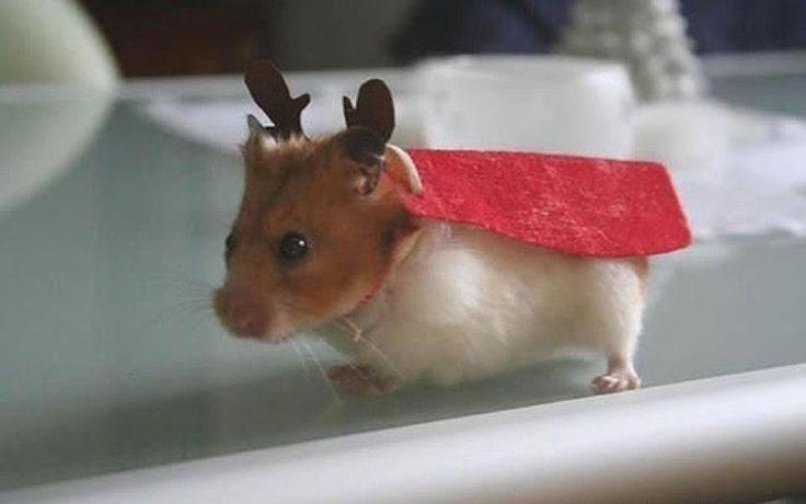 Reindeer hamster, Merry Christmas!
