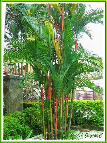 Lipstick palms | Zen Garden concepts | Pinterest | Palm ...