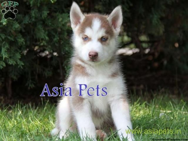 Siberian Husky Puppies Price In Nagpur Siberian Husky Puppies For Sale In Nagpur Greenfield Puppies Puppies Working Dogs Breeds