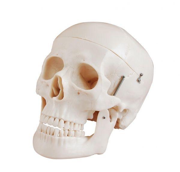 Crâne classique, en 3 parties