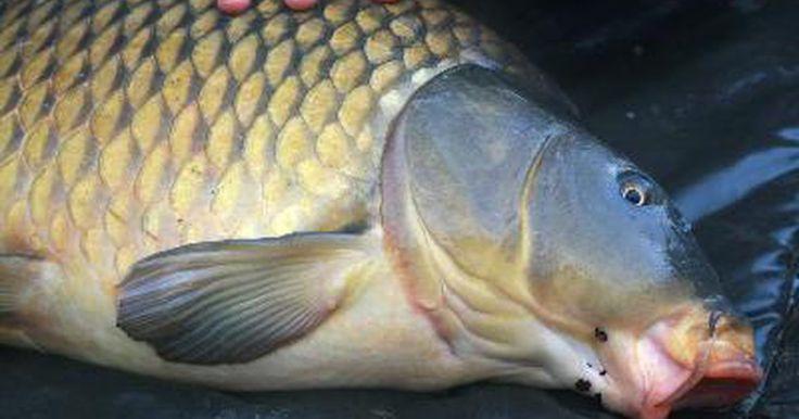 ¿Es la tilapia lo mismo que la  carpa?. La tilapia pertenece a una familia totalmente diferente a la del pez carpa. Las carpas son ciprínidos, mientras que la tilapia son cíclidos. Ambos peces son omnívoros y causan problemas si son liberados en aguas hospitalarias, ya que se reproducen prolíficamente y desplazan a las especies nativas. La carpa y la tilapia han sido criados ...
