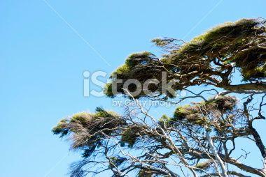 Windswept Manuka Branches Royalty Free Stock Photo