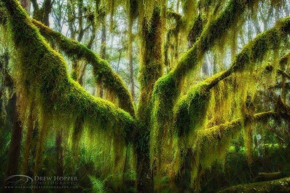 苔のなるナンキョクブナ(米オレゴン州