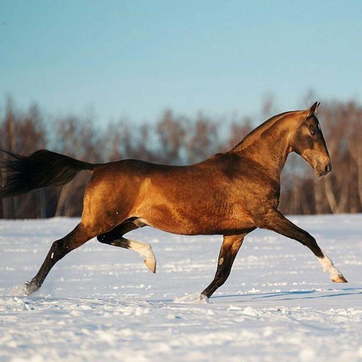 """""""#horse #horses #akhal_teke #akhalteke #akhalteke_horse #اسب #آخال_تکه #Ахал_Теке #Ахалtеке #лошадь #Ахал_Теке_лошадь #turkmen #turkmen_horse"""""""