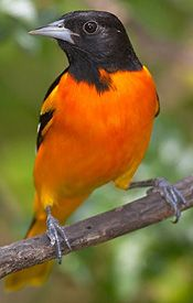 black and orange bird | Baltimore Oriole: Bird of the Month - Smithsonian Migratory Bird ...   Just saw a whole Bunch of these in the tree outside! 6 all together! 5 boys and a girl! Never seen a female before!