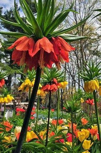 Adıyaman Lalesi Fritillaria İmperialis