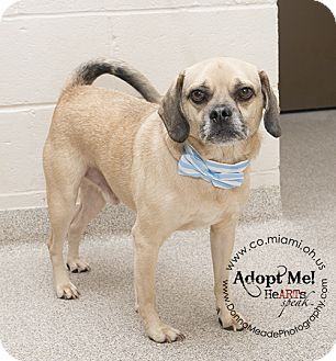 VERY URGENT!  I am at a kill shelter in Troy, OH - Pug/Beagle Mix. Meet Scooby a Dog for Adoption.